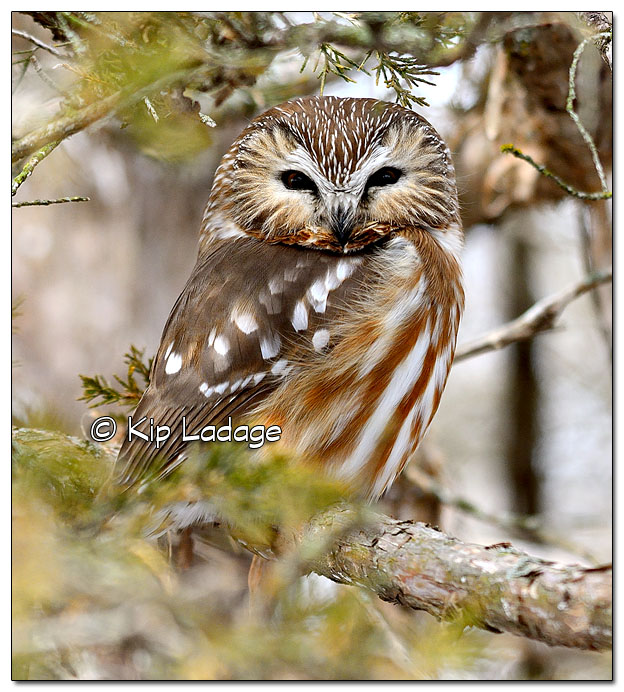 Saw-whet Owl in Cedar Tree - Image 489888 (© Kip Ladage)