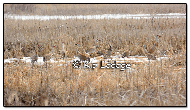 Ten Sandhill Cranes at Sweet Marsh - Image 490112 (© Kip Ladage)