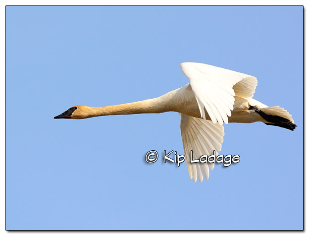 Trumpeter Swan at Sweet Marsh - Image 493330 (© Kip Ladage)