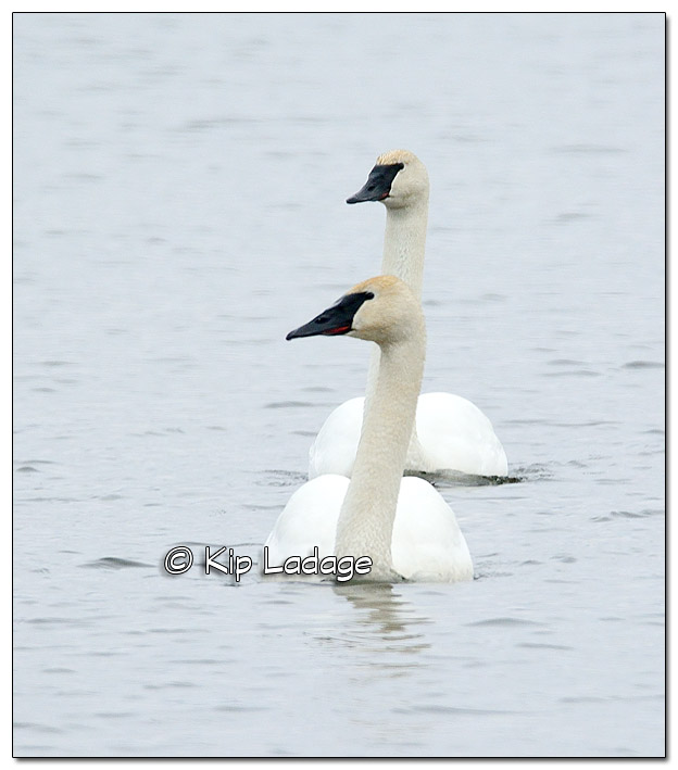 Trumpeter Swans at Sweet Marsh - Image 490865 (© Kip Ladage)