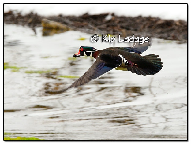 Wood Duck in Flight - Image 492912 (© Kip Ladage)