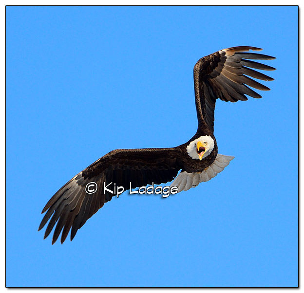 Adult Bald Eagle in Flight at Sweet Marsh - Image 494312 (© Kip Ladage)