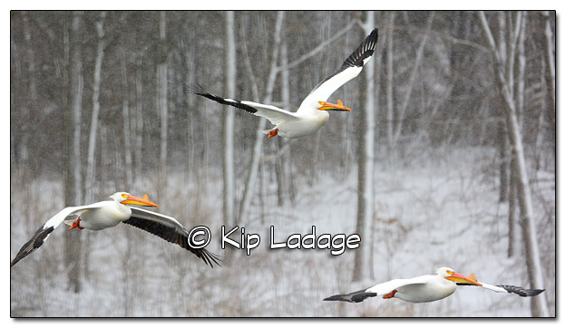 American White Pelicans in Snowstorm at Sweet Marsh - Image 497290 (© Kip Ladage)