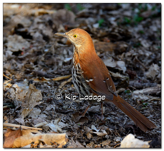 Brown Thrasher - Image 501972 (© Kip Ladage)