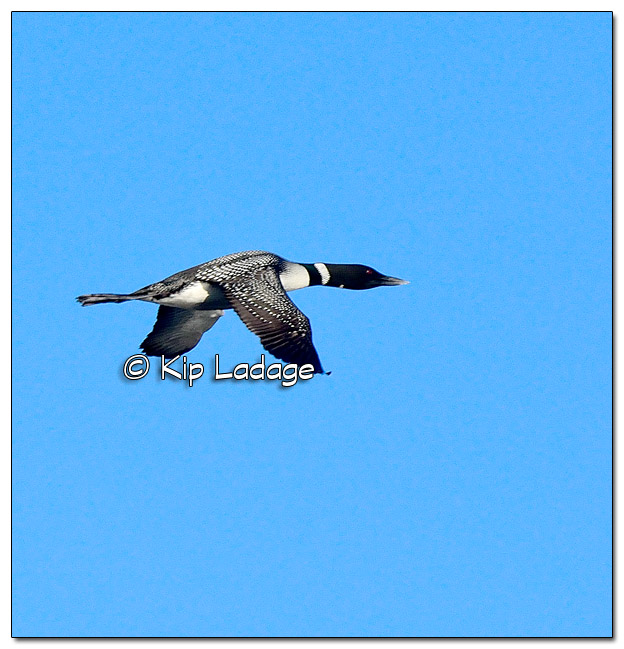 Common Loon in Flight at Big Woods Lake - Image 495125 (© Kip Ladage)