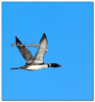 Common Loon in Flight at Big Woods Lake - Image 495128 (© Kip Ladage)