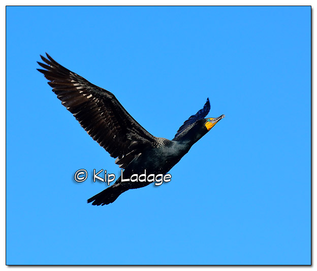 Double-crested Cormorant in Flight at Big Woods Lake - Image 495130 (© Kip Ladage)