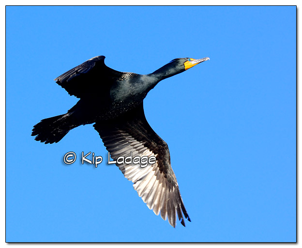 Double-crested Cormorant in Flight at Big Woods Lake - Image 495133 (© Kip Ladage)