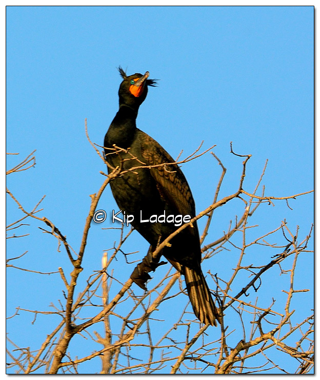 Double-crested Cormorant at Big Woods Lake - Image 501877 (© Kip Ladage)