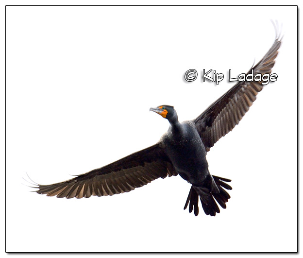 Double-crested Cormorant in Flight - Image 494964 (© Kip Ladage)