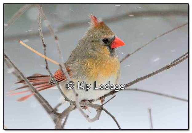 Female Northern Cardinal in Snowstorm - Image 495657 (© Kip Ladage)