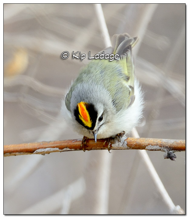 Golden-crowned Kinglet at Sweet Marsh - Image 494606 (© Kip Ladage)