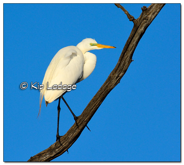Great Egret at Wyth Lake - Image 501332 (© Kip Ladage)