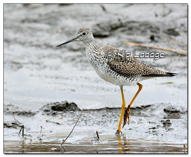 Greater Yellowlegs - Image 4955615 (© Kip Ladage)
