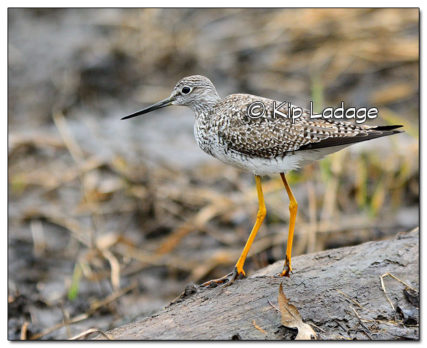 Greater Yellowlegs - Image 4955621 (© Kip Ladage)
