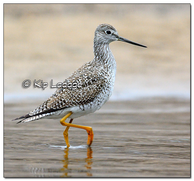 Greater Yellowlegs - Image 4955625 (© Kip Ladage)