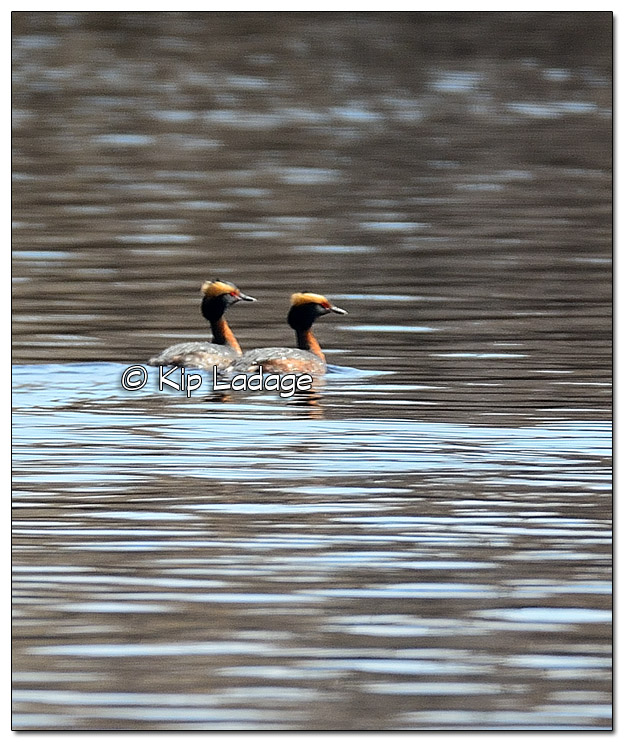 Horned Grebes at Saints Lake - Image 498277 (© Kip Ladage)