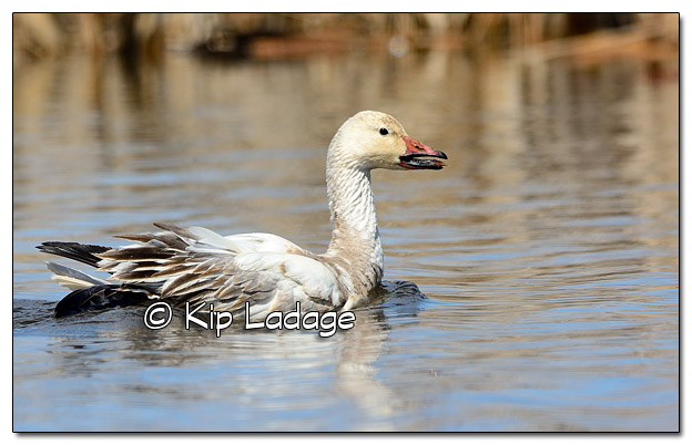 Injured Snow Goose at Sweet Marsh - Image 496691 (© Kip Ladage)
