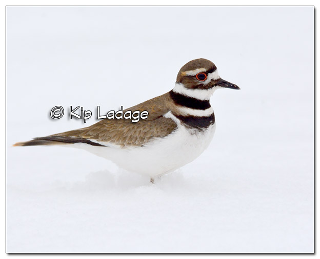 Killdeer in Snow - Image 495328 (© Kip Ladage)