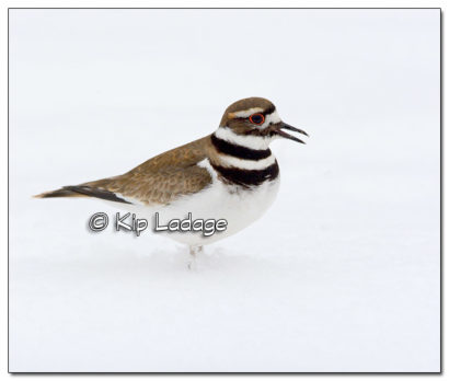 Killdeer in Snow - Image 495337 (© Kip Ladage)