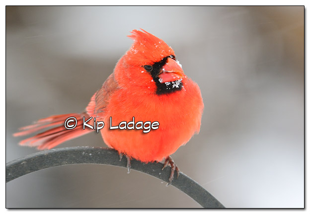 Male Northern Cardinal in Snowstorm - Image 495670 (© Kip Ladage)