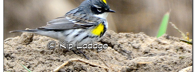 Male Yellow-rumped Warbler (Myrtle) - Image 495596 (© Kip Ladage)