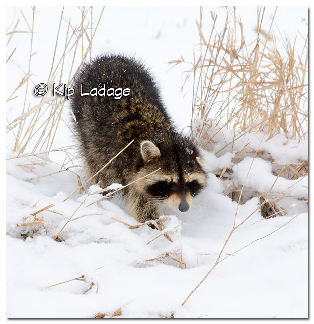 Raccoon in Snow - Image 495260 (© Kip Ladage)