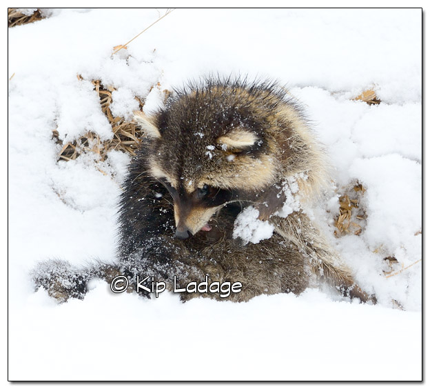 Raccoon in Snow - Image 495287 (© Kip Ladage)