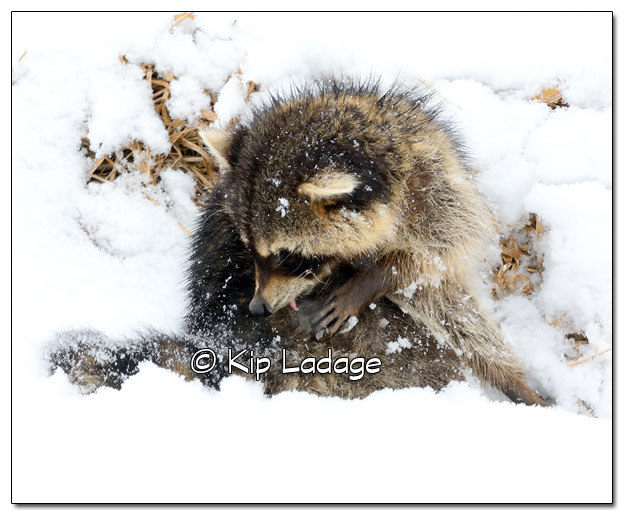 Raccoon in Snow - Image 495297 (© Kip Ladage)
