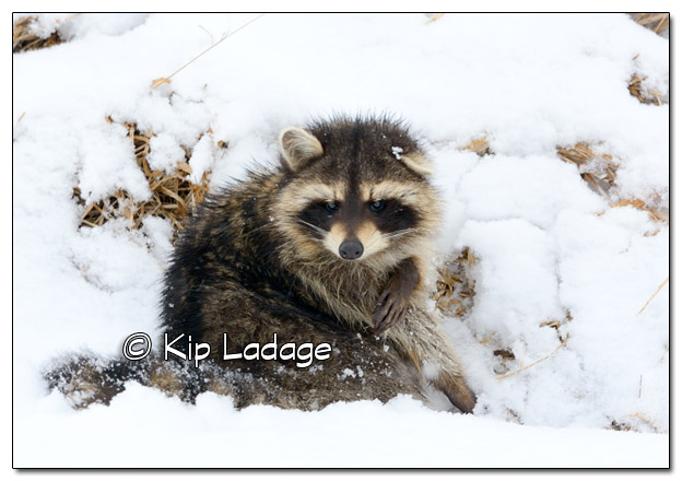 Raccoon in Snow - Image 495320 (© Kip Ladage)