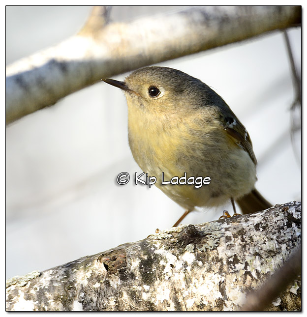 Ruby-crowned Kinglet - Image 500183 (© Kip Ladage)