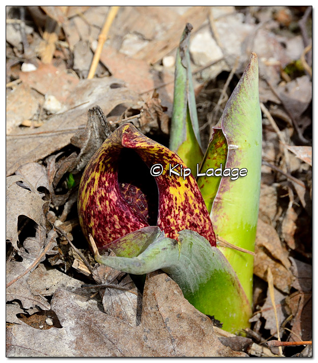 First of the Year Skunk Cabbage - Image 499506 (© Kip Ladage)