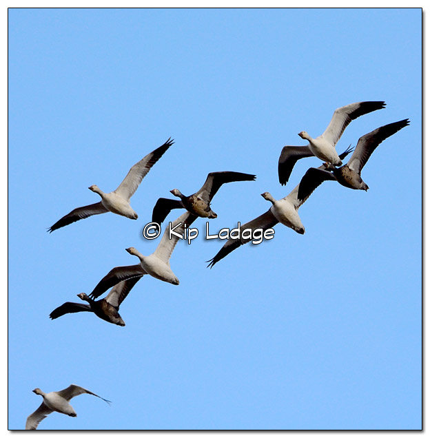 Snow Geese in Low Flight - Image 493546 (© Kip Ladage)