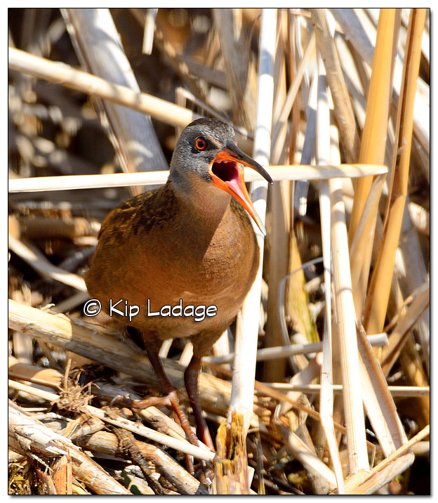 Virginia Rail at Sweet Marsh - Image 500109 (© Kip Ladage)