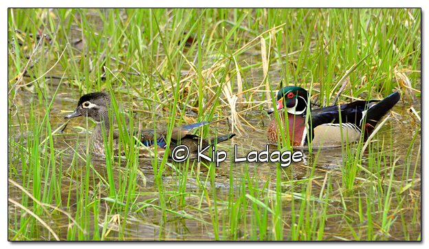 Wood Duck in Wet Timber Area at Roberts Creek Park - Image 499172 (© Kip Ladage)