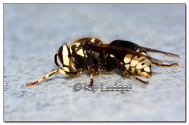 Bald-faced Hornet - Image 503137 (© Kip Ladage)