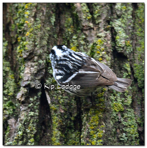 Black and White Warbler - Image 503942 (© Kip Ladage)