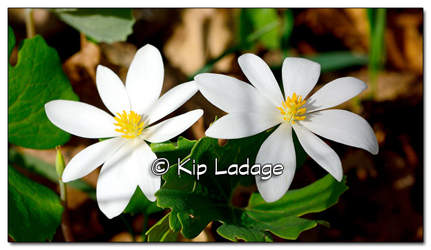 Bloodroot at Sweet Marsh - Image 503144 (© Kip Ladage)
