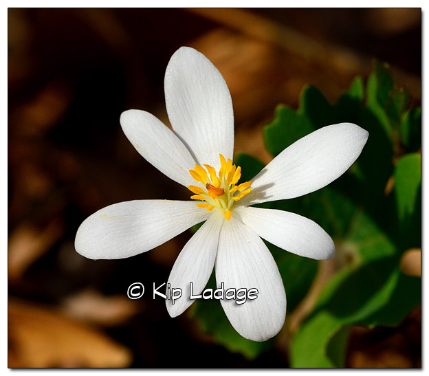 Bloodroot at Sweet Marsh - Image 503145 (© Kip Ladage)