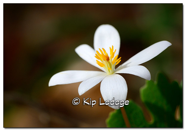 Bloodroot at Sweet Marsh - Image 503163 (© Kip Ladage)