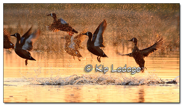 Blue-winged Teal Taking Flight at Sunrise at Sweet Marsh - Image 502758 (© Kip Ladage)