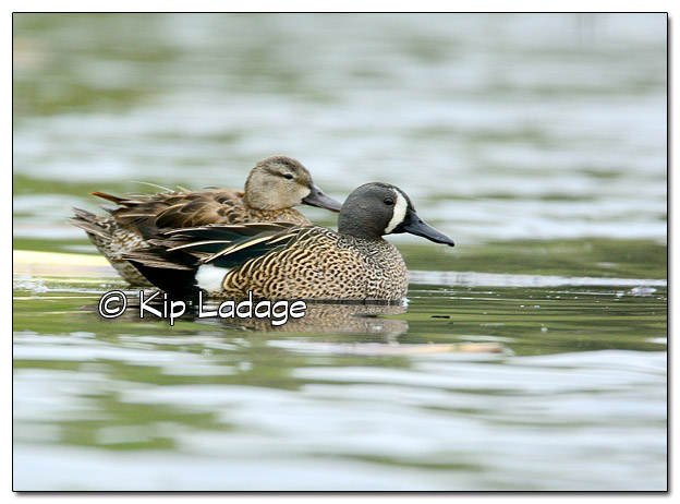 Blue-winged Teal at Sweet Marsh - Image 504497 (© Kip Ladage)