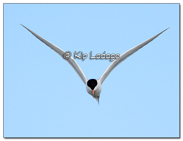 Common Tern in Flight at High Lake - Image 503565 (© Kip Ladage)