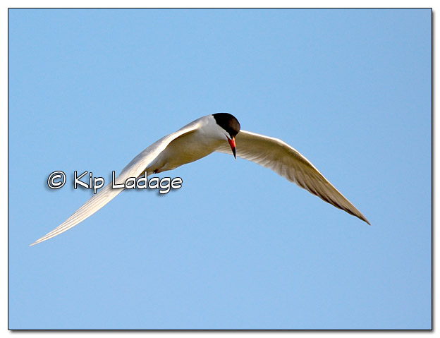 Common Tern in Flight at High Lake - Image 503570 (© Kip Ladage)