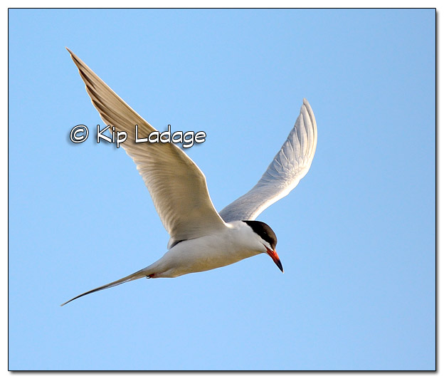 Common Tern in Flight at High Lake - Image 503571 (© Kip Ladage)