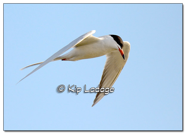 Common Tern in Flight at High Lake - Image 503572 (© Kip Ladage)