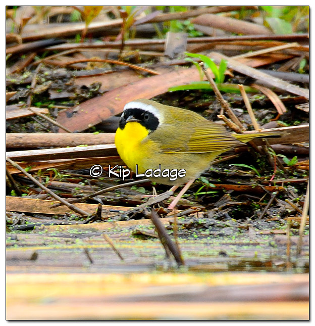 Common Yellowthroat at Sweet Marsh - Image 504524 (© Kip Ladage)