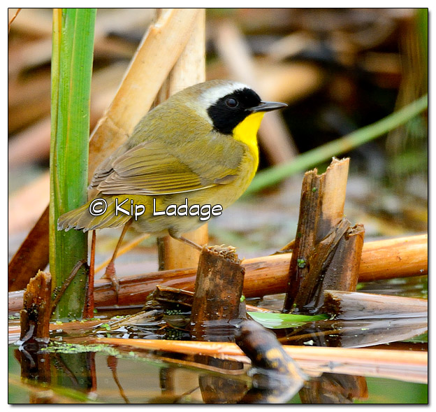 Common Yellowthroat at Sweet Marsh - Image 504531 (© Kip Ladage)