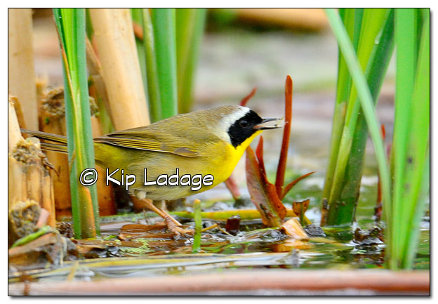 Common Yellowthroat at Sweet Marsh - Image 504532 (© Kip Ladage)