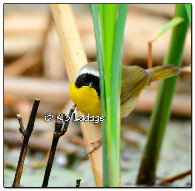 Common Yellowthroat at Sweet Marsh - Image 504537 (© Kip Ladage)